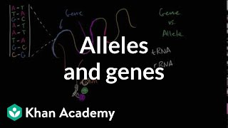 Alleles And Genes
