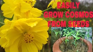 Easiest Way To Grow Cosmos From Seeds