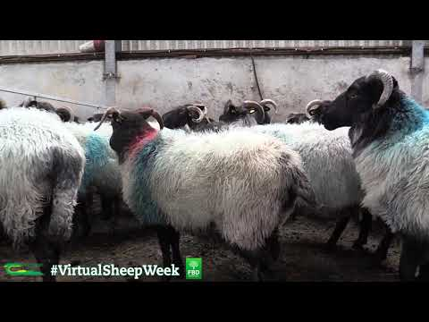 Developing a market for light hill lambs – The Atlantic Hill Brand