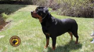 Rottweiler Breeders Colorado Free Online Videos Best Movies Tv