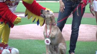 Bullying Prevention Night at The Cardinals Game 2013 - Marshall the Miracle Dog