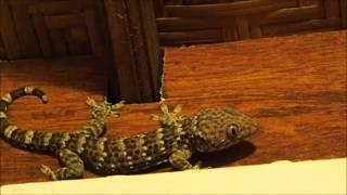 2015-08-14 Tokay Gecko, Ubud, Bali