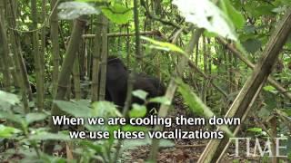How to Greet a Mountain Gorilla