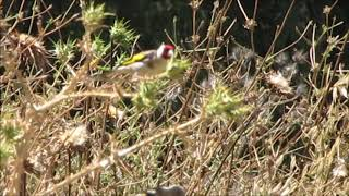 Goldfinch and Fledgling