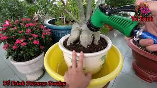 Cách Thay Đất Sang Chậu Cây Sứ Thái Mua Từ Vườn Hoa Sa Đéc / Adenium Obesum