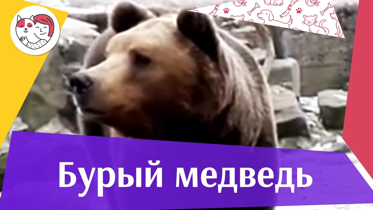 Бурый медведь тяжеловесный спортсмен на ilikepet