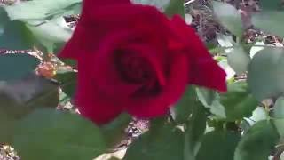 Rodeo Rose...