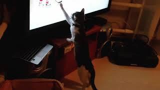 Кошка болельщик Кошка хоккеист Приколы с котами Приколы с котятами Приколы с кошками Смешные коты