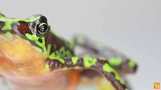 The Critically Endangered Palmed Harlequin-Frog (Atelopus palmatus) is still alive!