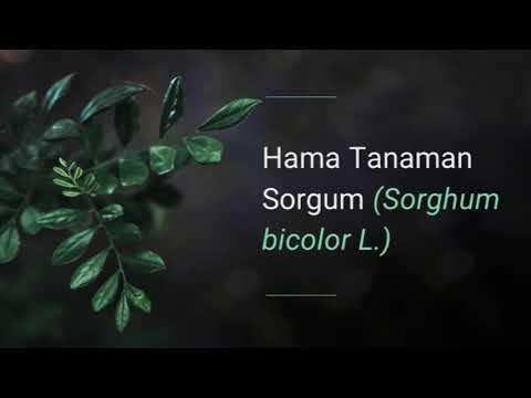 Teniosis etiológia patogenezis