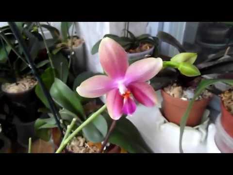 Орхидея на фитиле. Как я поливаю орхи.