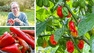 Growing Peppers from Sowing to Harvest