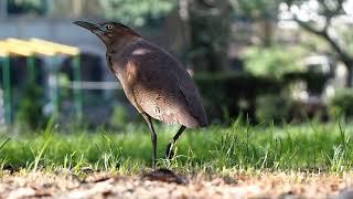 大有國小校園的黑冠麻鷺