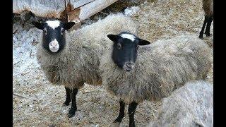 Смотреть онлайн Разведение и кормление овец в домашних условиях