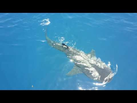 Whale Shark Overview Holbox July 17