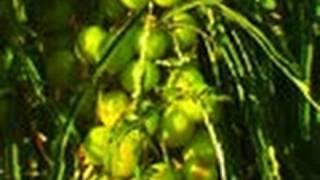 Gooseberry Tree or Aamla Tree