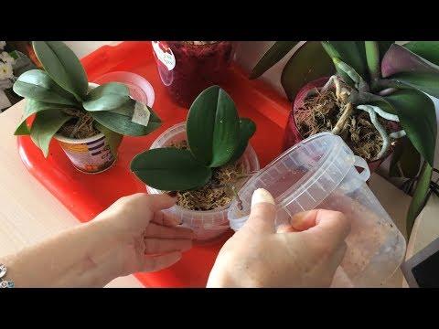Полив орхидей фаленопсис в домашних условиях. Как правильно поливать и сколько поливать орхидею.
