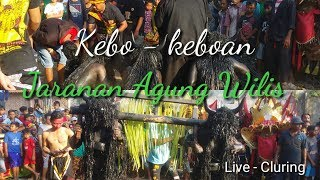 Gambar cover Ada Kebo Keboan Jaranan Agung Wilis - Live Cluring - Full Penonton