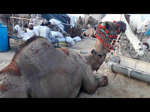 Верблюжий парикмахер из Пакистана
