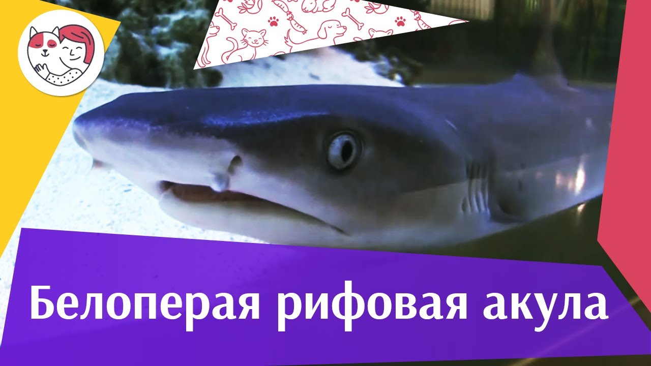 Белоперая рифовая акула АкваЛого на ilikePet
