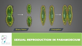 SEXUAL REPRODUCTION IN PARAMOECIUM