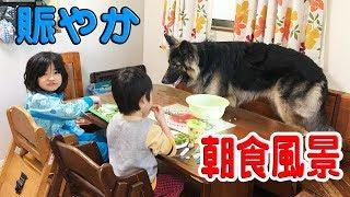 大型犬シェパード犬子供達との朝食風景German Shepherd Dog
