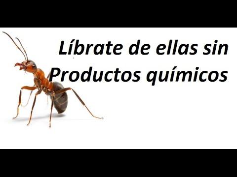 Como acabar con las hormigas de casa. Eliminación definitiva !!