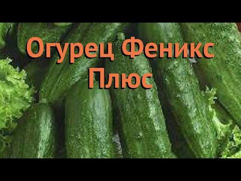 Огурец обыкновенный Феникс Плюс (feniks plyus) 🌿 обзор: как сажать, семена огурца Феникс Плюс