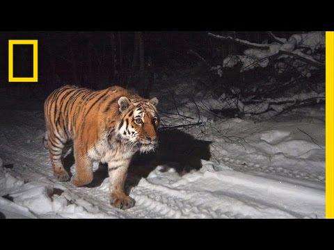 Protecting the Siberian Tiger's Last Home   Short Film Showcase thumbnail