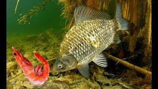 Какая рыба клюет на креветку