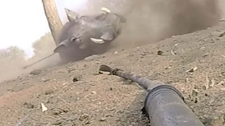 Big Wart Hog Gets A Spear In The Back Then Goes Ballistic!!!