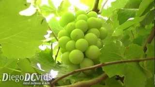 Vitis vinifera (Vitaceae) unripe grapes - videira Florianópolis Brasil