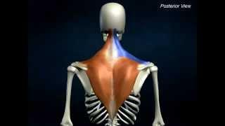 Trapezius Muscle