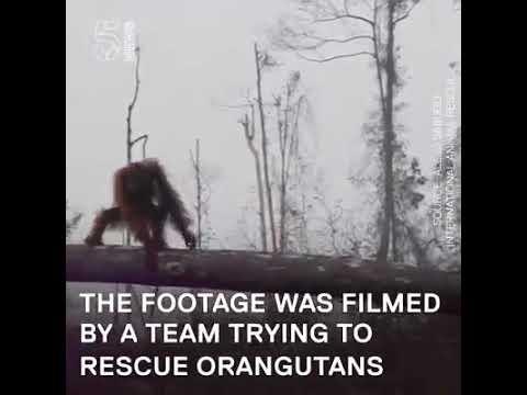 Orangutan tries to fight bulldozer to protect his home :(