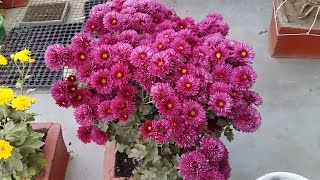 Chrysanthemum Plant Care || How To Grow Supper Quality Chrysanthemum Plant In A Pot