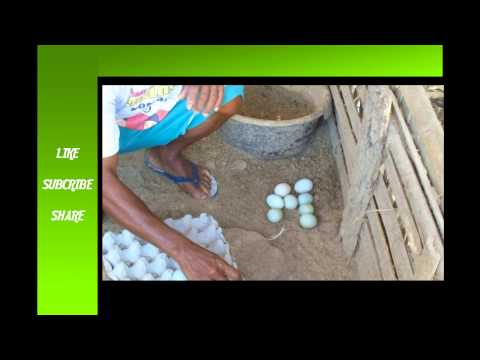 Video Cara Mudah Ternak Bebek Petelur
