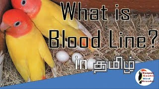 Medicines For Quick Breeding Of Birds - hmong video