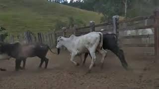 Bovino Corte Mestiço Garrote 6-10@ - e-rural Imagens