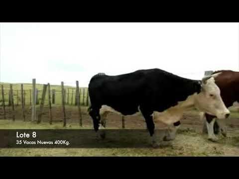 Lote 35 Vacas de Invernada Hereford 400kg -  en Establecimiento las Delicias - Paraje la Bolsa, ruta 30 km 176. entra al sur 8 km.