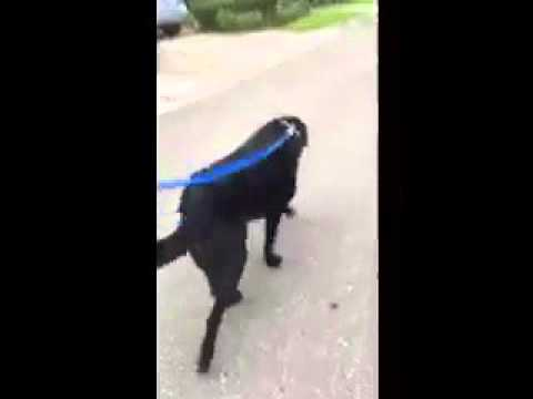Great Dawg Rescue - Guthrie is Walking!!!