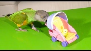 Kili Senegal Parrot - Pushing Baby in Stroller Trick (As Seen On Late Show With David Letterman)