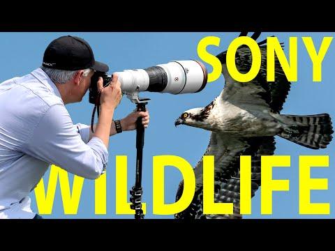 External Review Video P7pElrHGajE for Sony FE 600mm F4 G Master OSS Lens (SEL600F40GM)