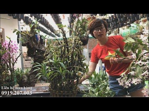 Bán phi điệp cánh viền, lan rừng hàng thuần và đã ghép giò giá rẻ 160 đến 300k ( 18/3/2019)