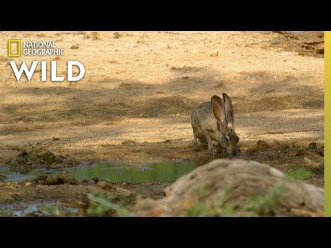 Harris's Hawks Hunt a Jackrabbit | The Desert Sea