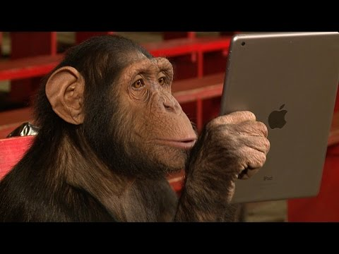 שימפנזה פוגשת פעם ראשונה אייפד - בקסם מתוק מאין כמוהו
