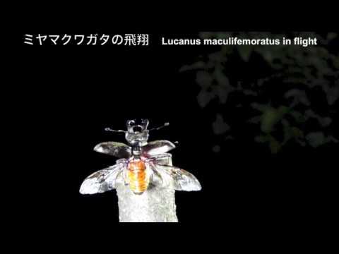 ミヤマクワガタの飛翔 Lucanus maculifemoratus