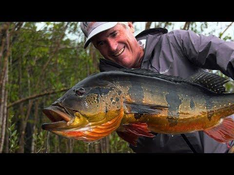 Peacock bass i Amazonas