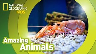 Amazing Animals - Shrimp Edition 🦐