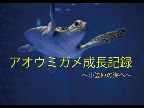 アオウミガメ成長記録~小笠原の海へ~