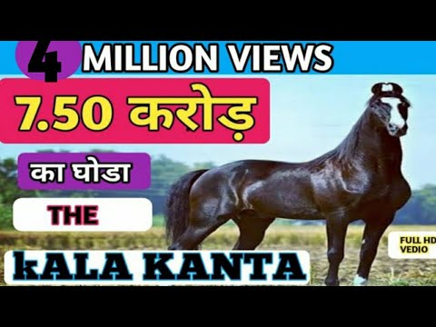 7. 50 करोड़  का  काला  काँटा  मारवाड़ी  घोड़ा  (  Marwari STALLION )  Behbal Stud Farm   PART-1